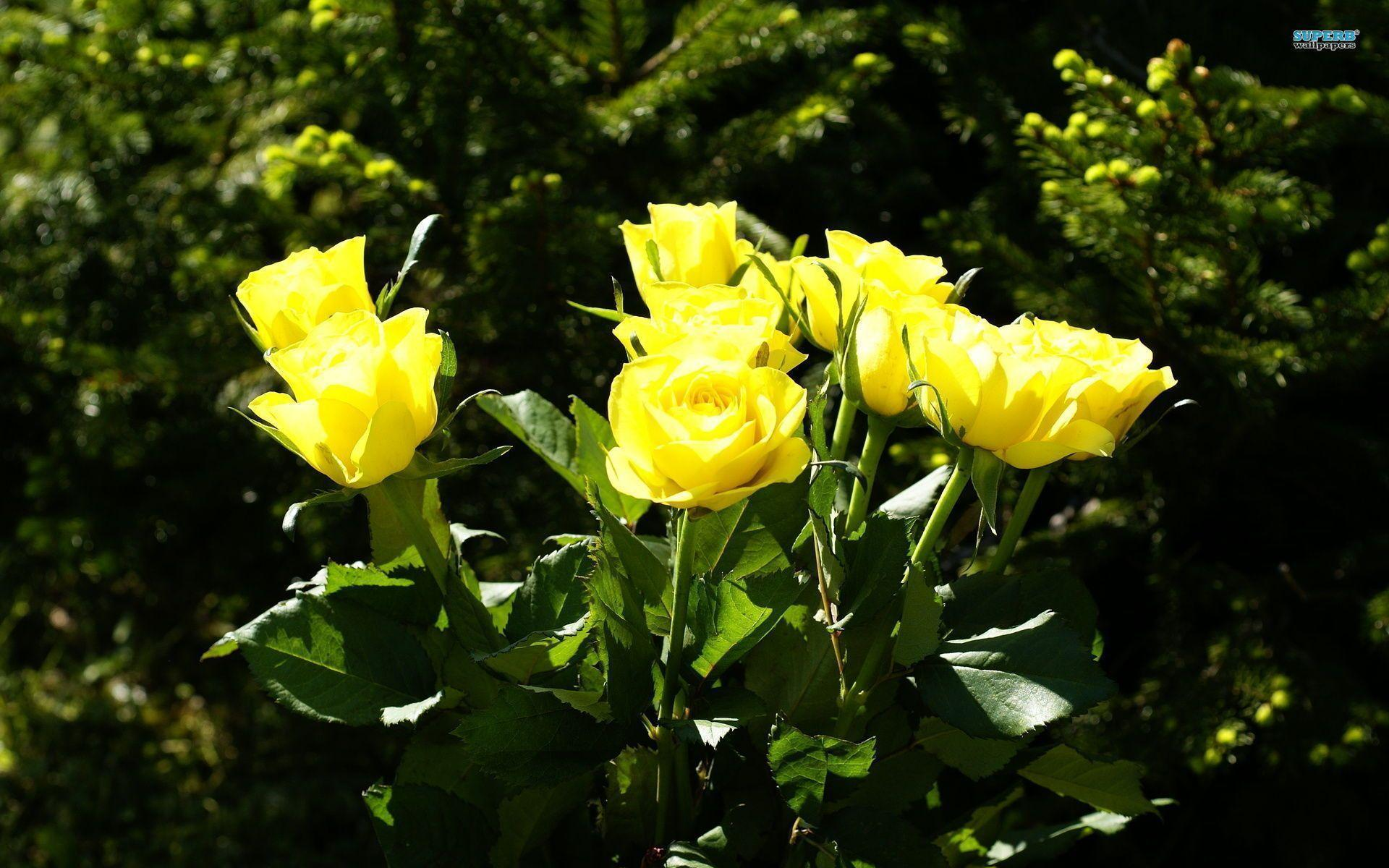 Yellow Rose Flower Wallpapers - Wallpaper Cave