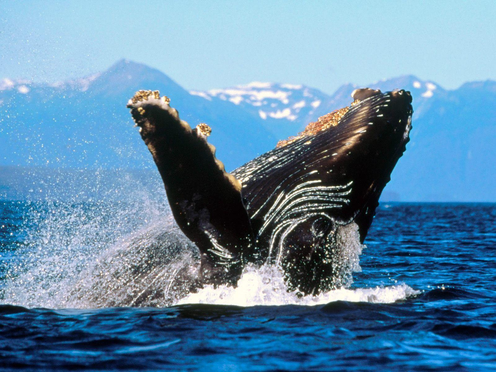 humpback whale wallpapers wallpaper cave