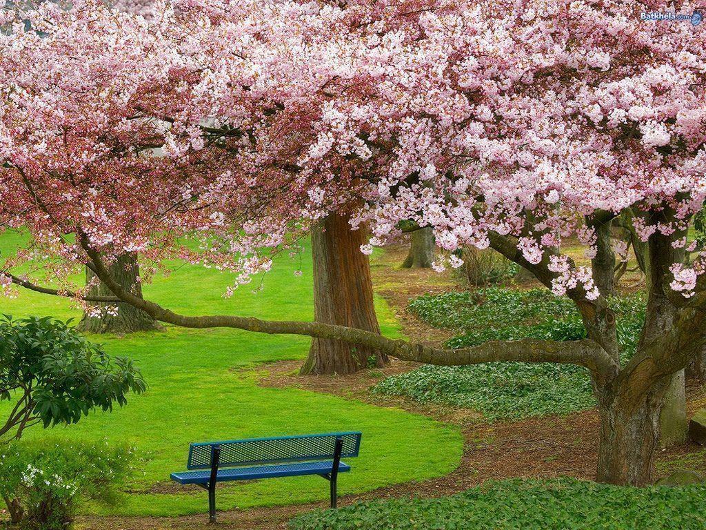 Free Wallpaper: New Sakura Blossom Wallpaper
