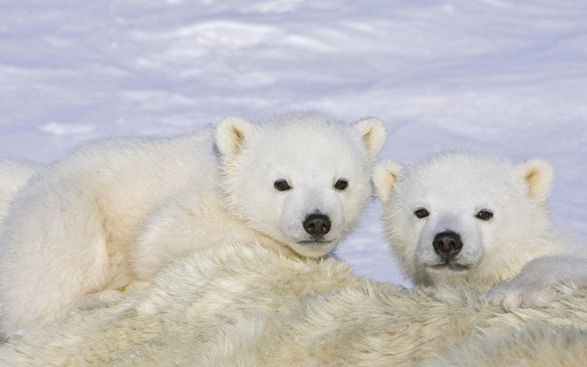 Baby Polar Bear Wallpapers Wallpaper Cave