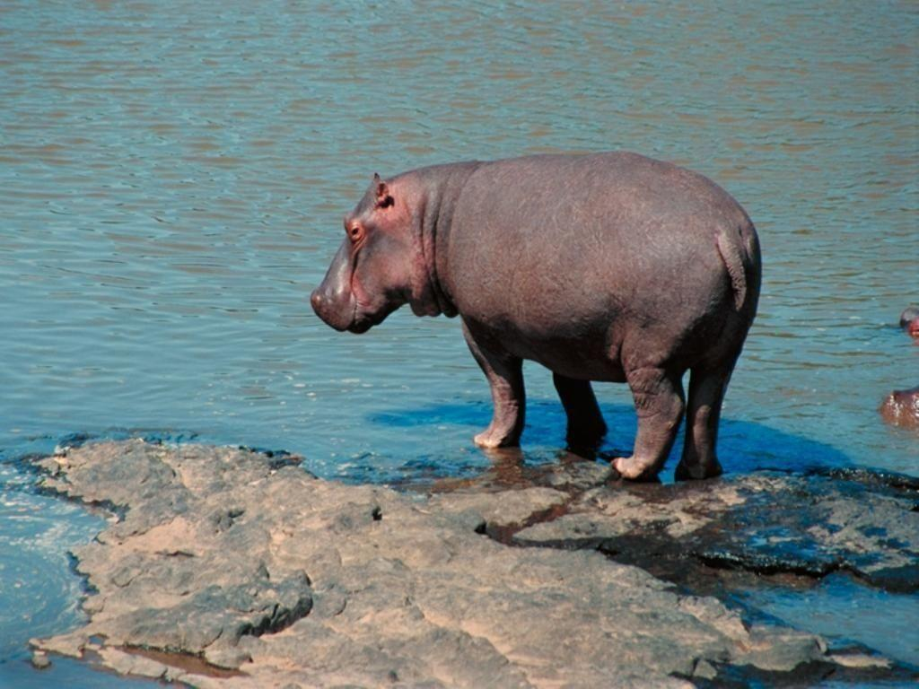 32 Hippopotamus Wallpaper | Animal Wallpapers