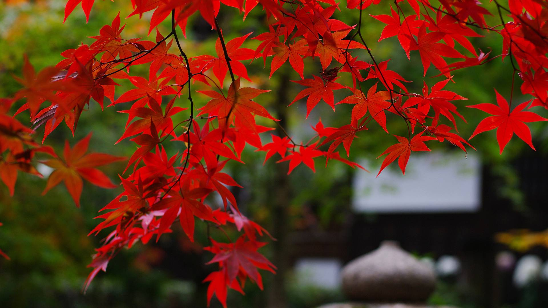 Red Autumn Leaf wallpaper.