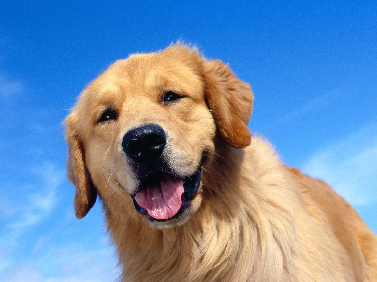 Golden Retriever Wallpapers - HD Wallpapers Inn