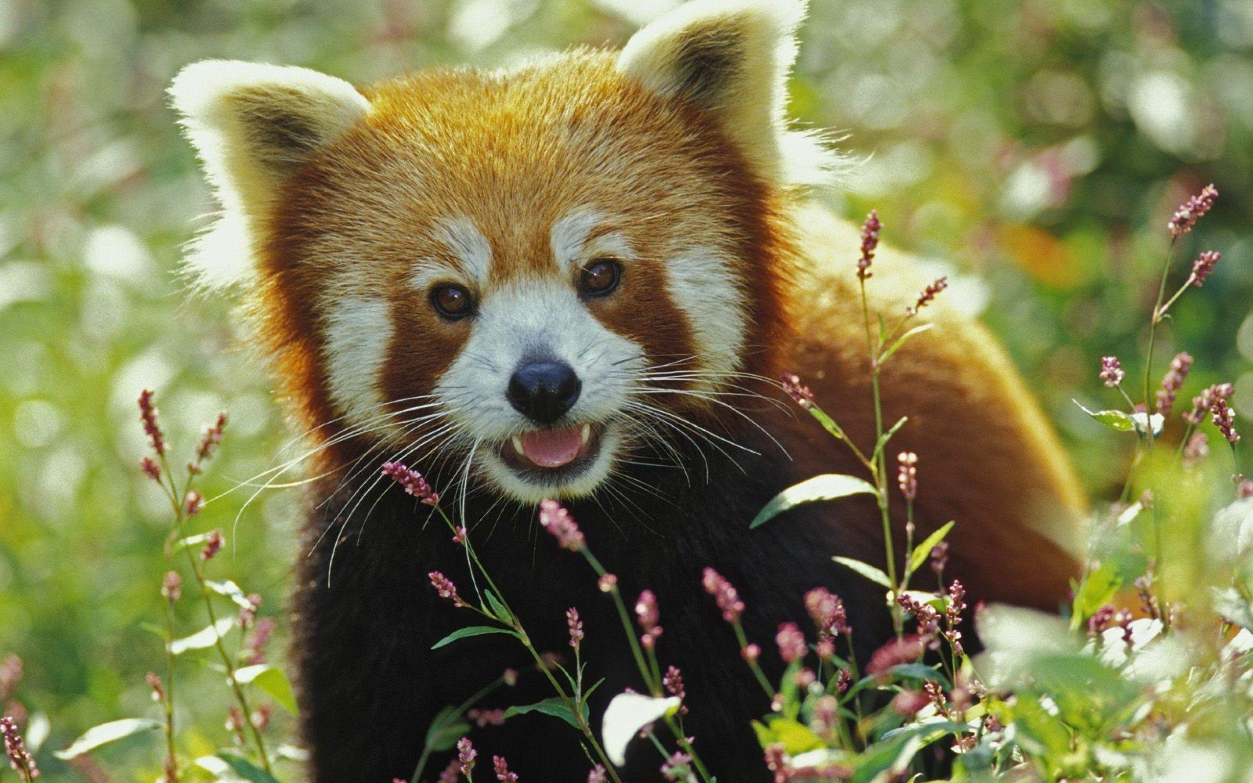 Firefox Red Panda Wallpaper HD - Animal Backgrounds