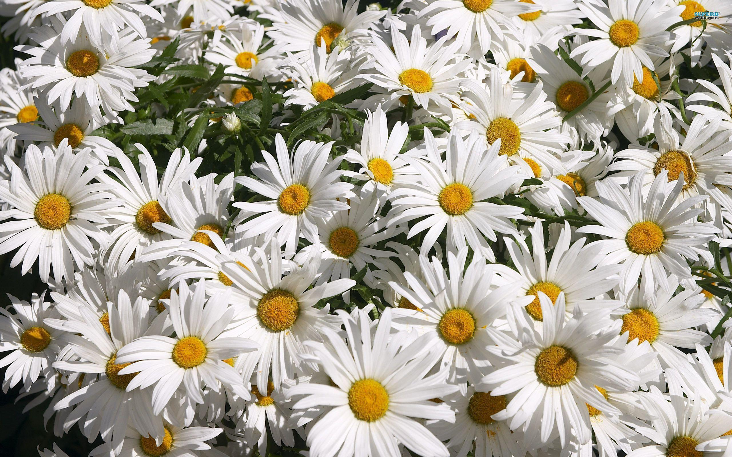 Beautifull Daisy Hd Wallpapers