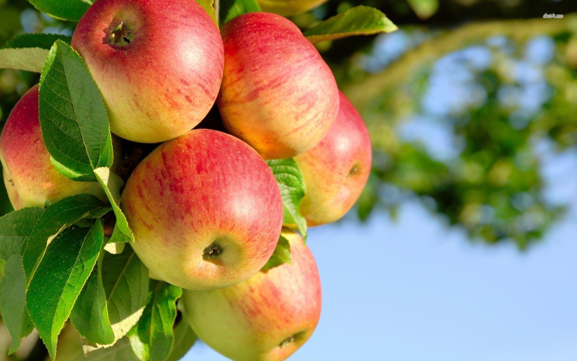 Fruit apple wallpaper - Apple Tree Wallpapers Full Hd Wallpaper Search