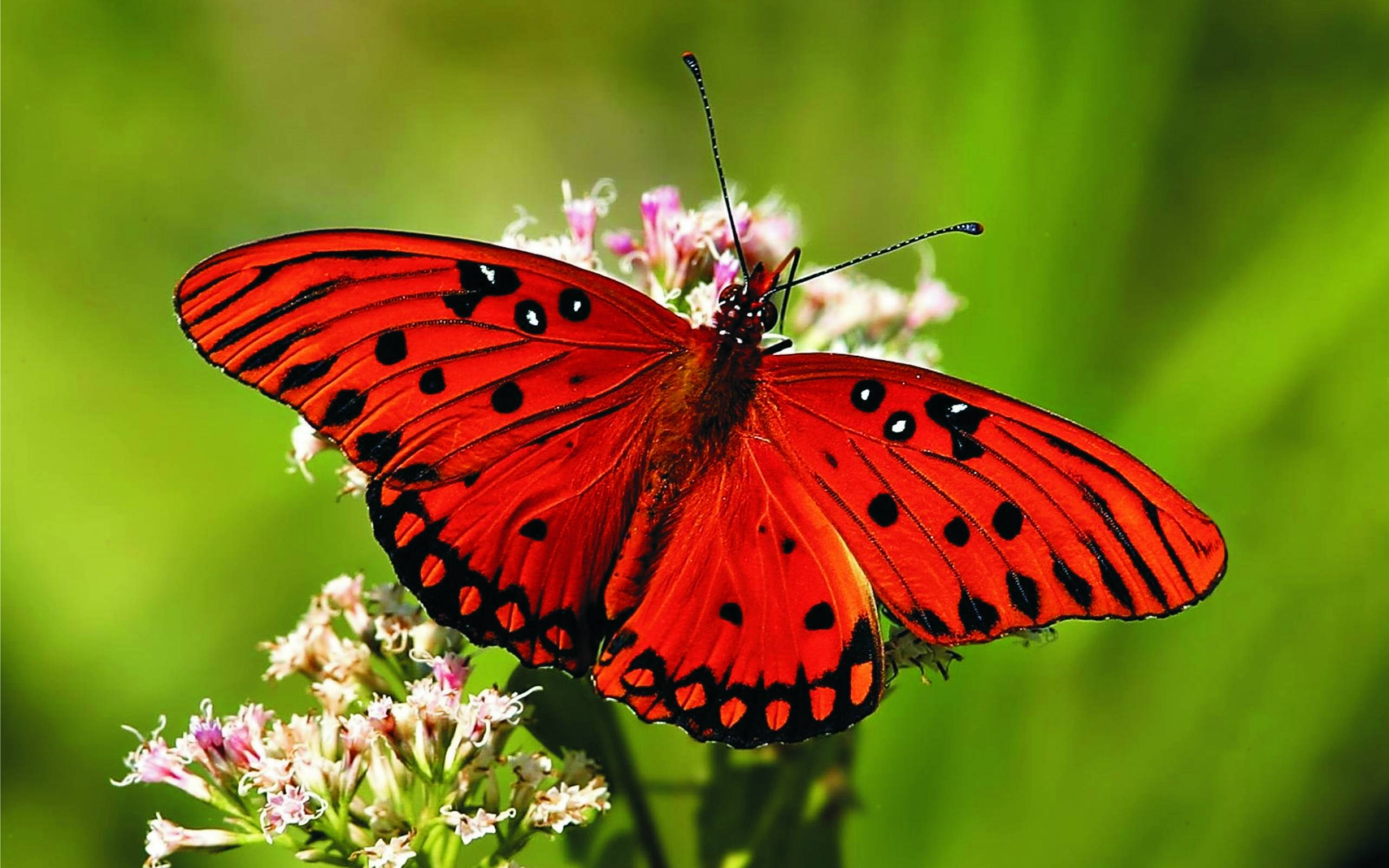 red butterfly wallpapers - photo #8