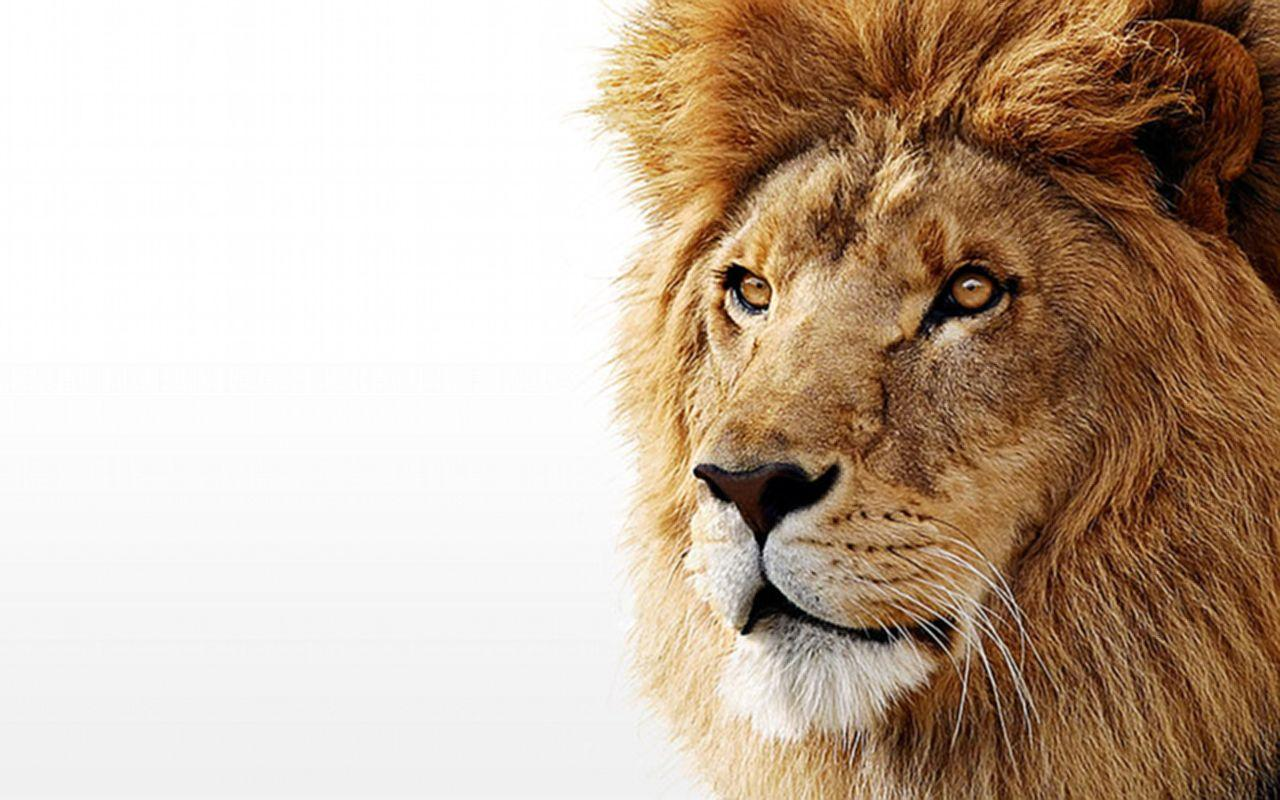 lion desktop background - photo #40