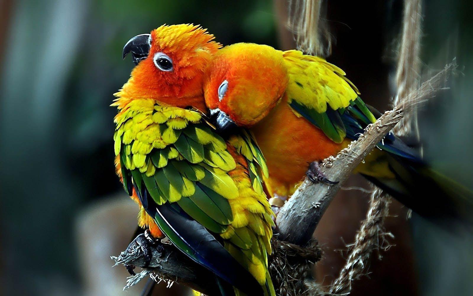 Love Birds Hd Wallpapers: Wallpapers Love Birds