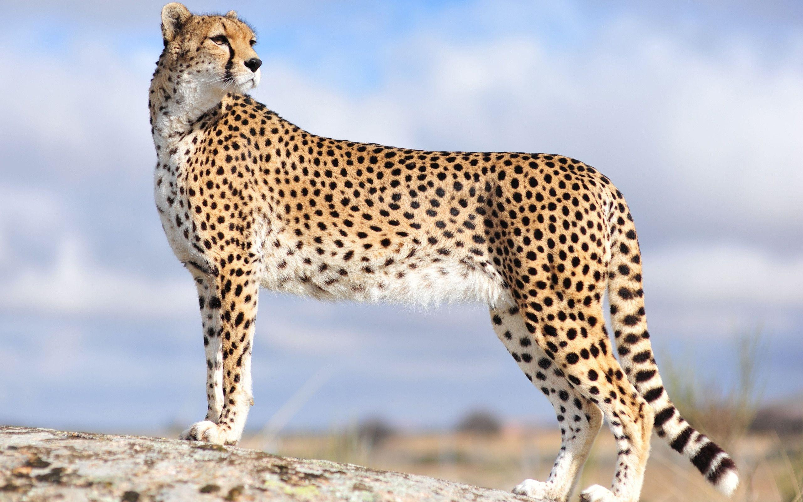 Cheetah Wallpapers - Full HD wallpaper search