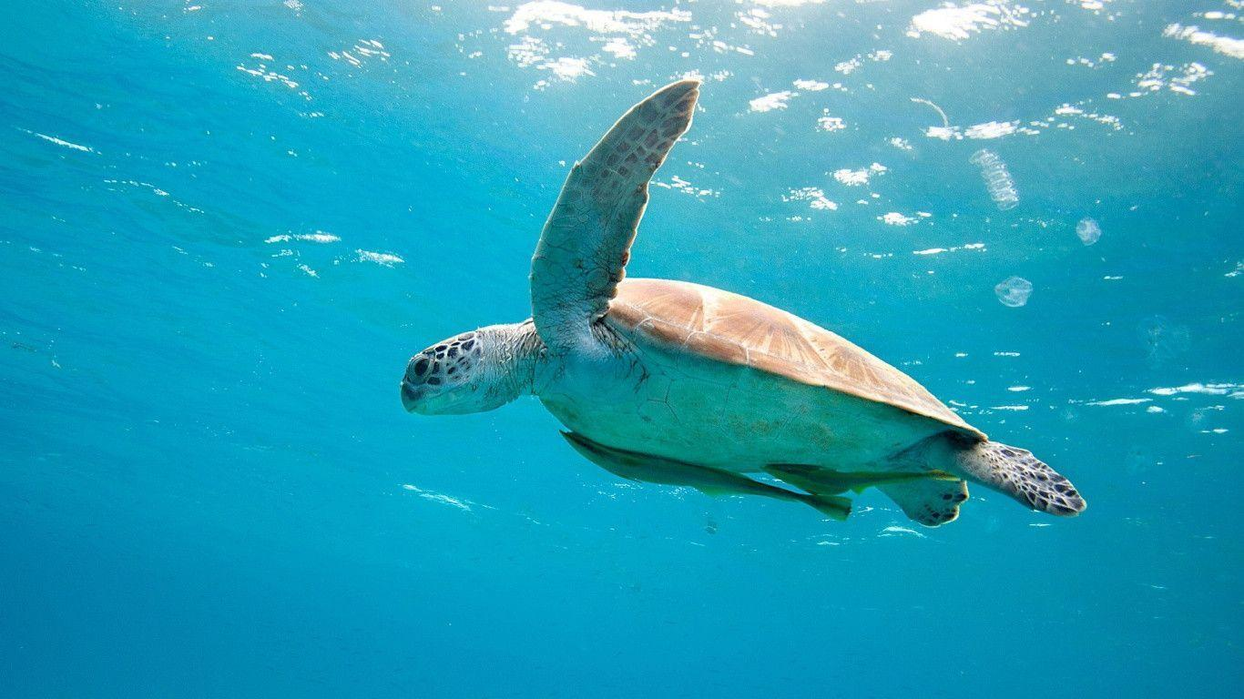 1366x768 Sea turtle Wallpapers