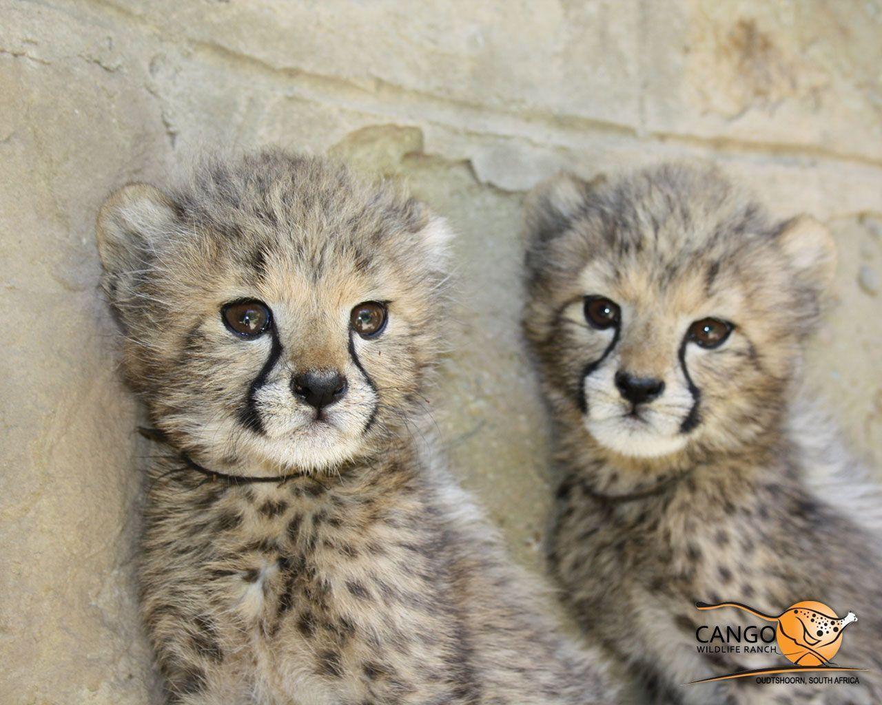 Cute Cheetah Wallpapers - Wallpaper Cave | 1280 x 1024 jpeg 172kB