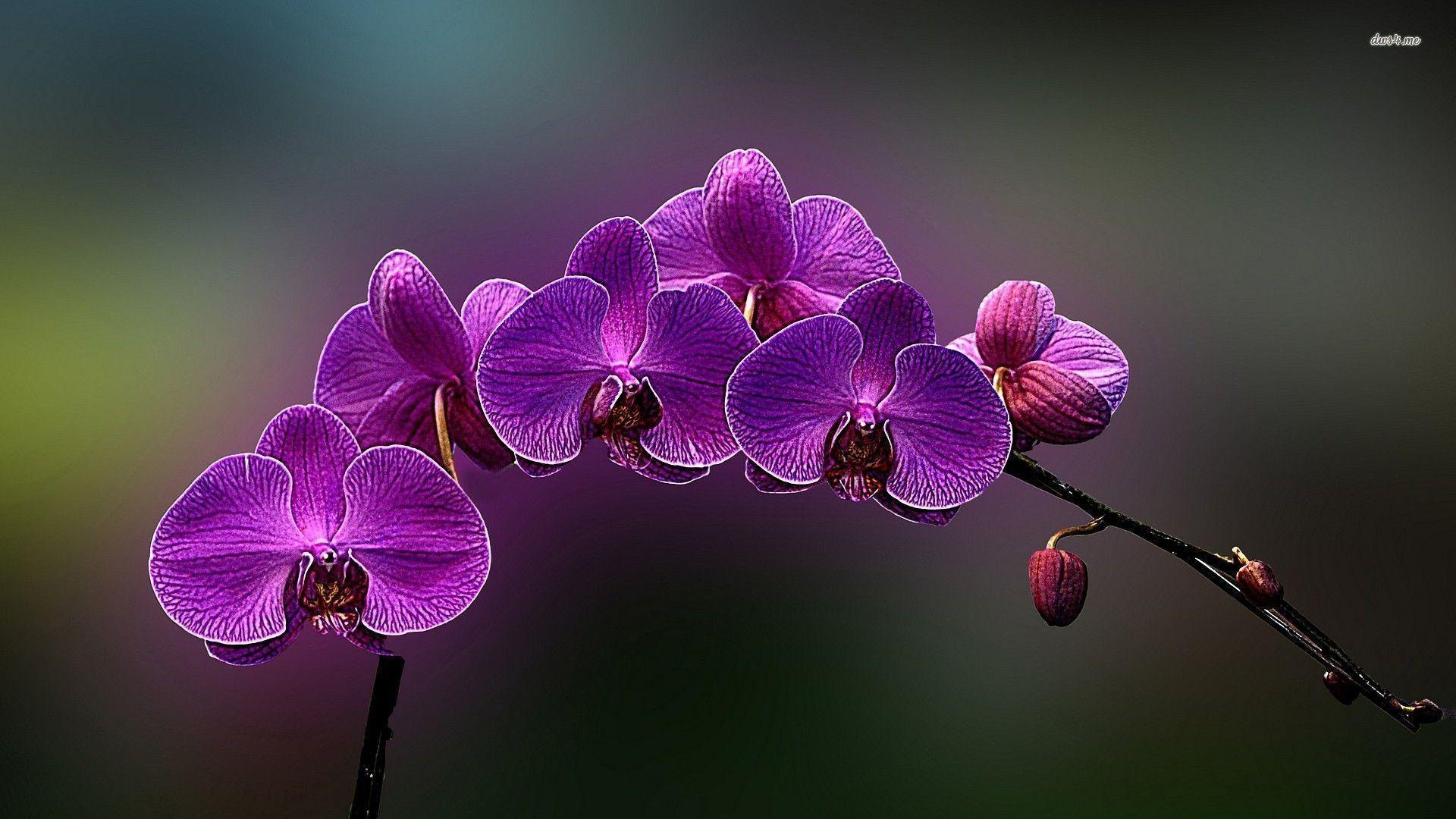 orchid wallpapers backgrounds images - photo #21