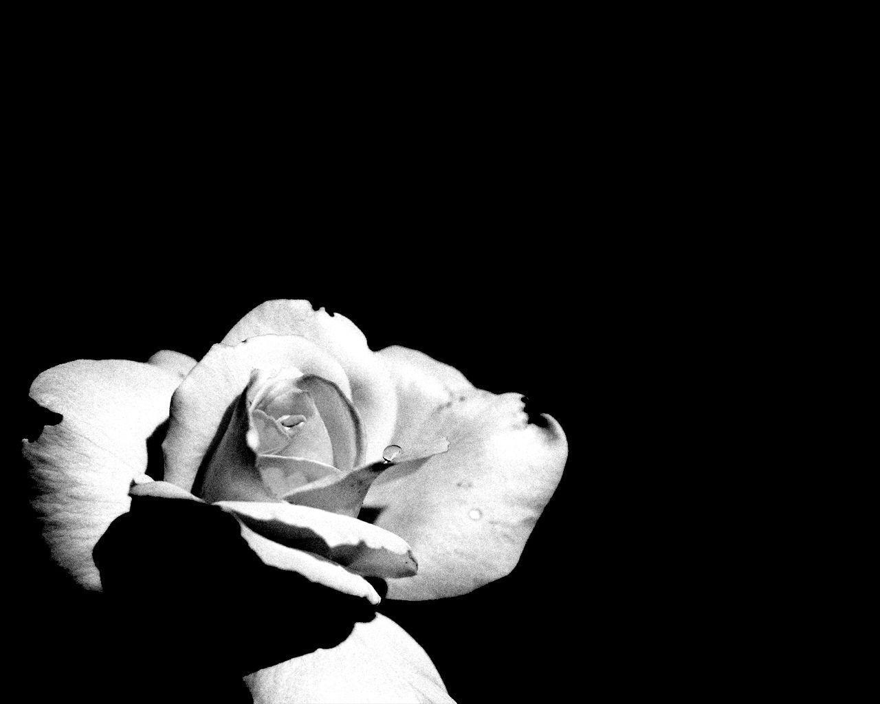 Black And White Rose Wallpapers Wallpaper Cave