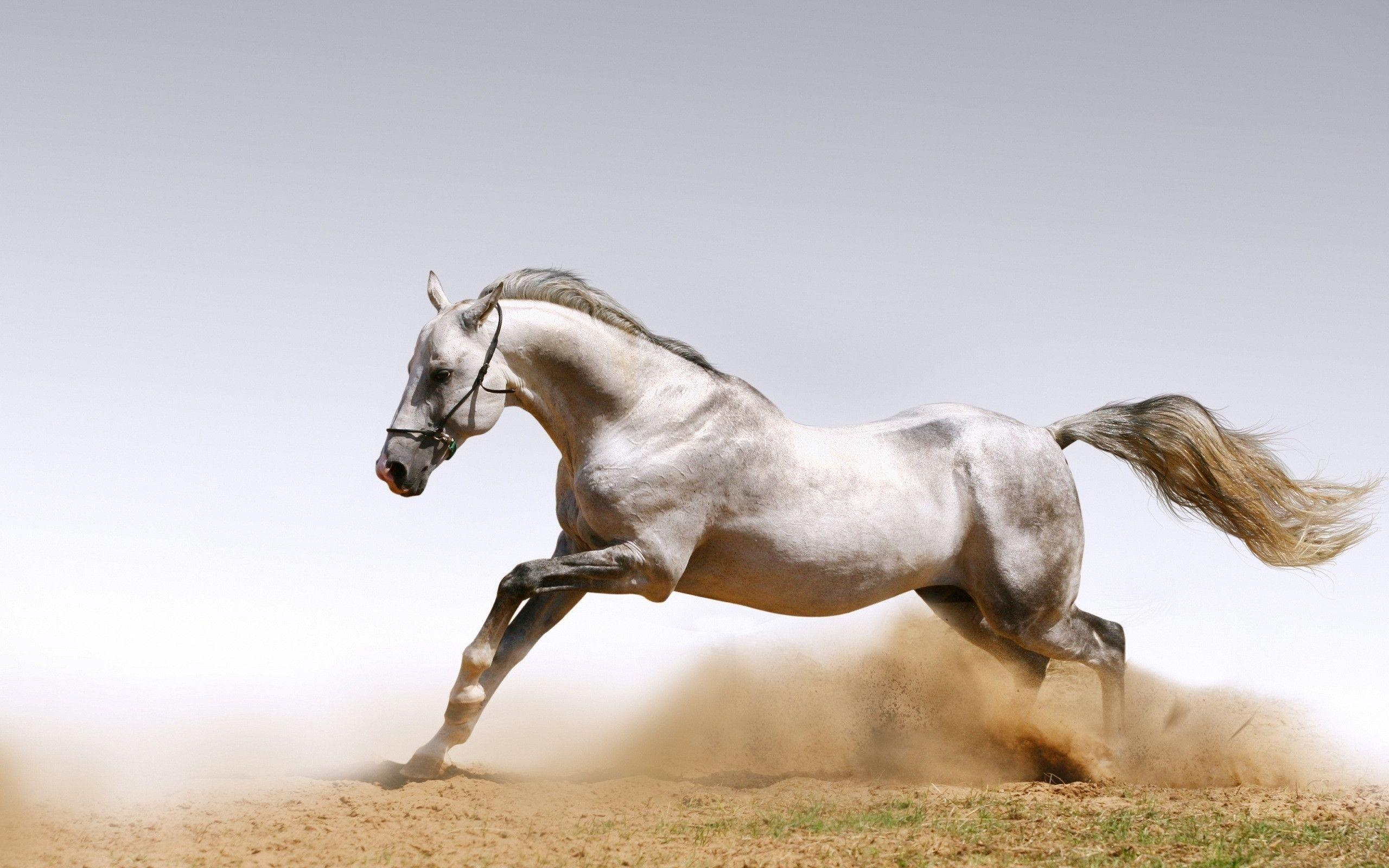 Horse Full HD Wallpaper and Background x ID