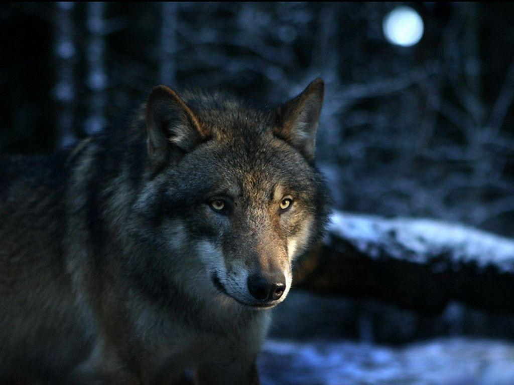 wolf wallpaper yorkshire - photo #11