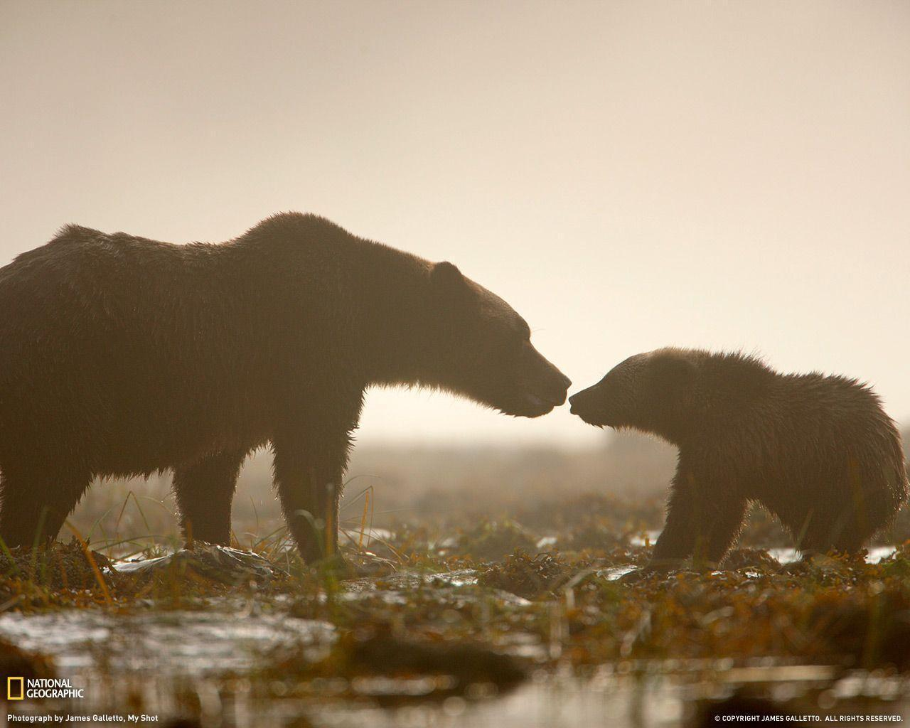 Grizzly bear [3] wallpaper - Animal wallpapers - #46852