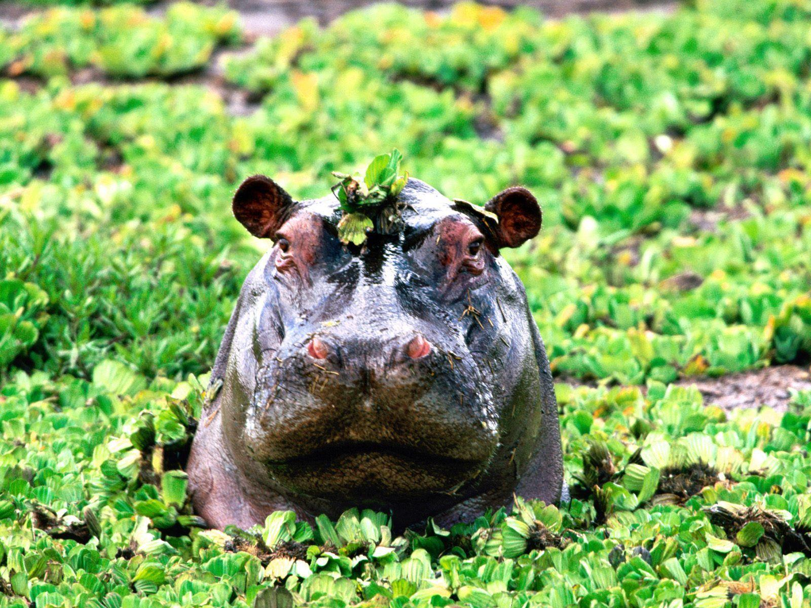 Images For > Cute Hippo Wallpaper