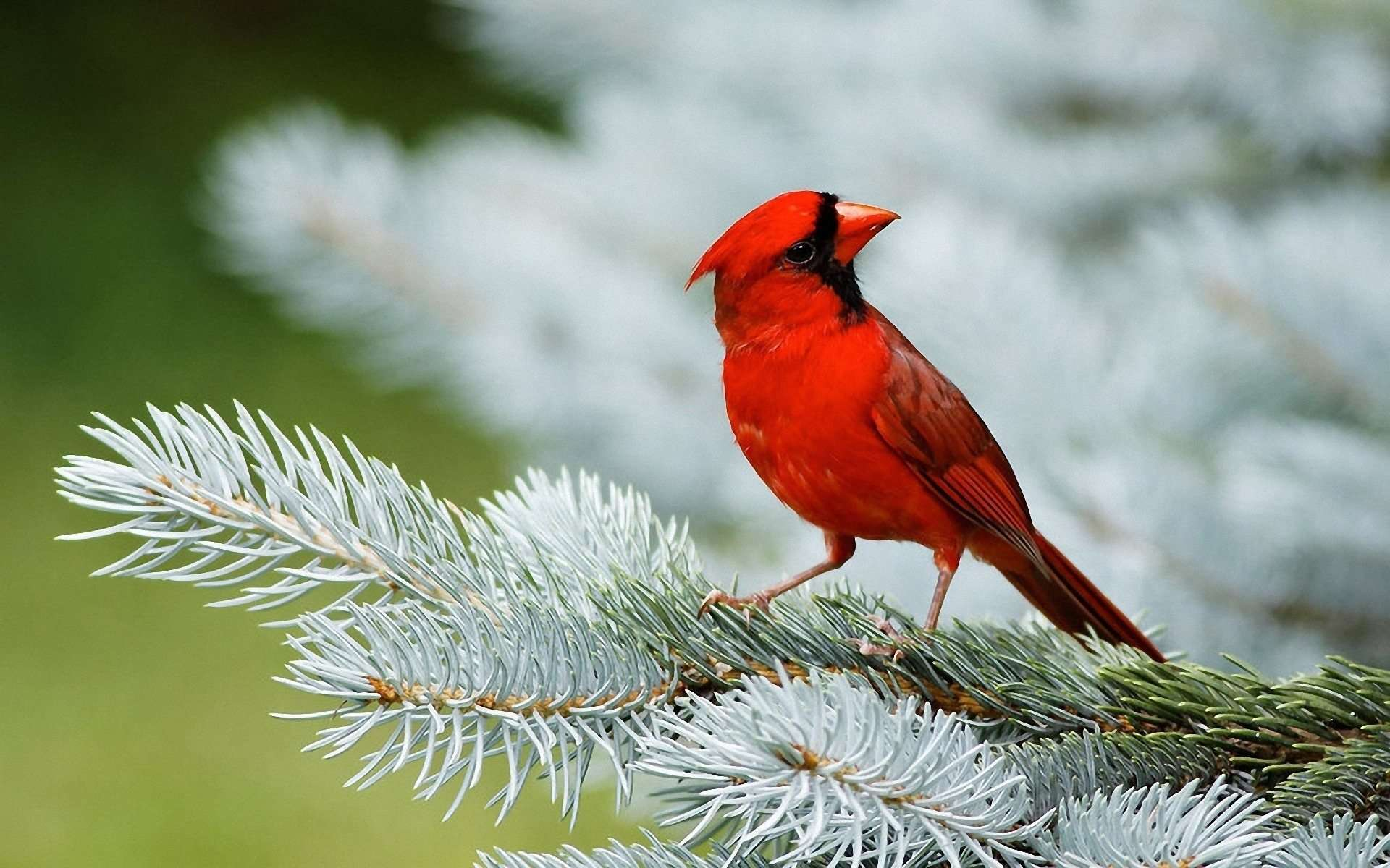 Bird Wallpaper Adorable Cardinal Bird Wallpapers  Wallpaper Cave Inspiration