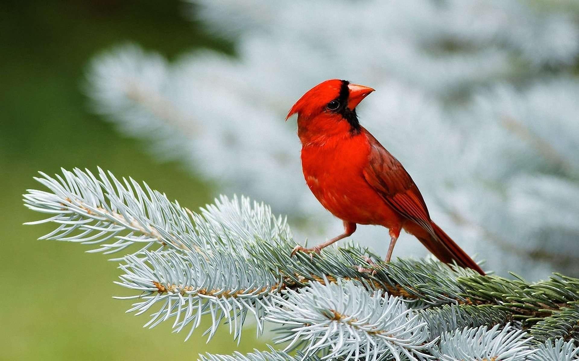 cardinal bird wallpapers wallpaper cave