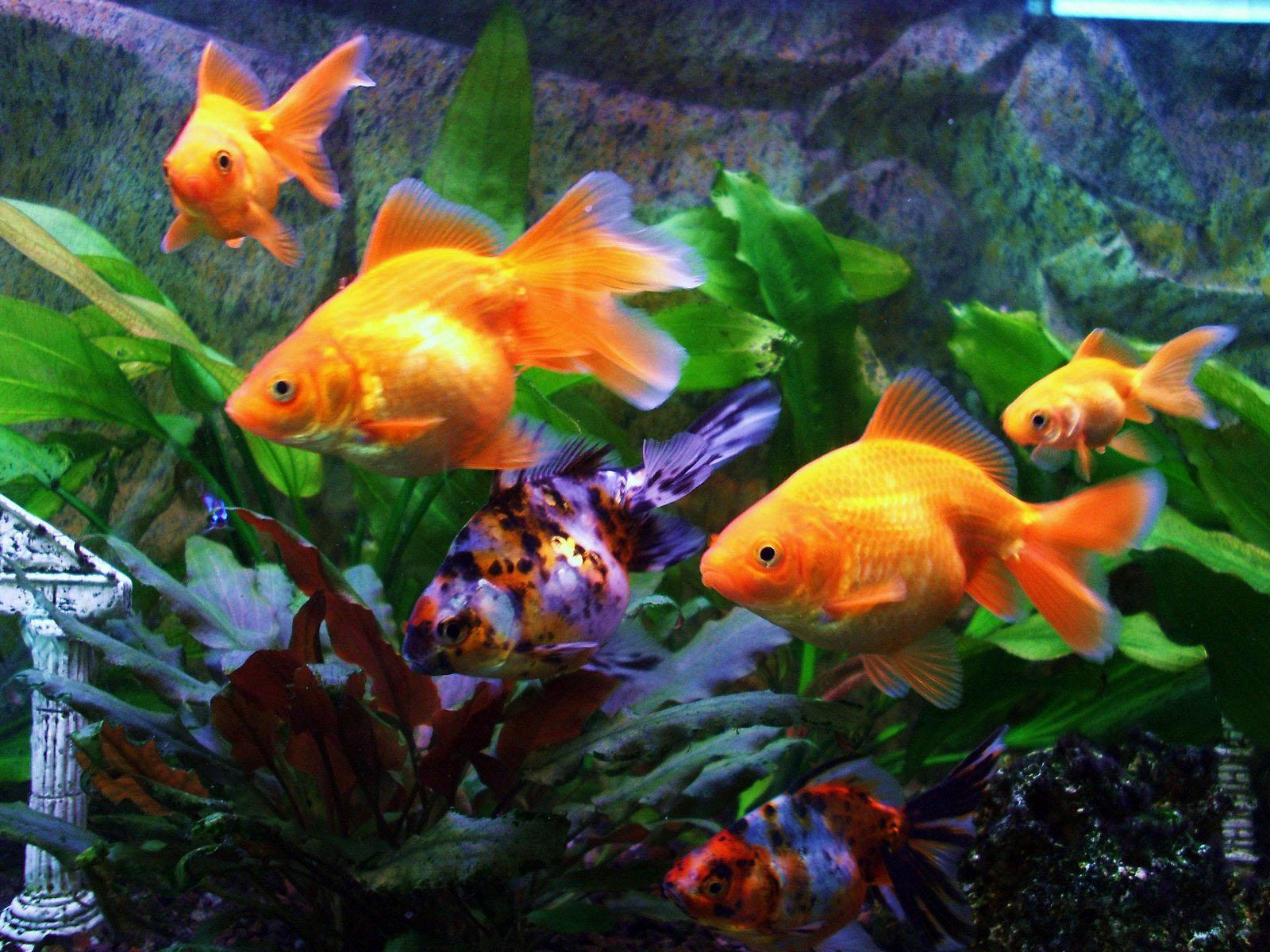 Gold fish wallpapers wallpaper cave for Fish tank for goldfish