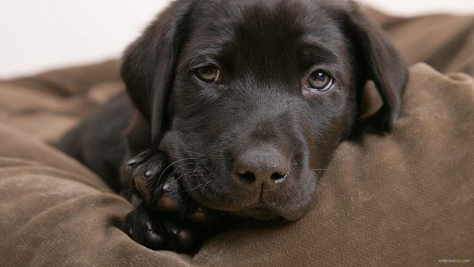 cute chocolate labrador retriever - photo #44