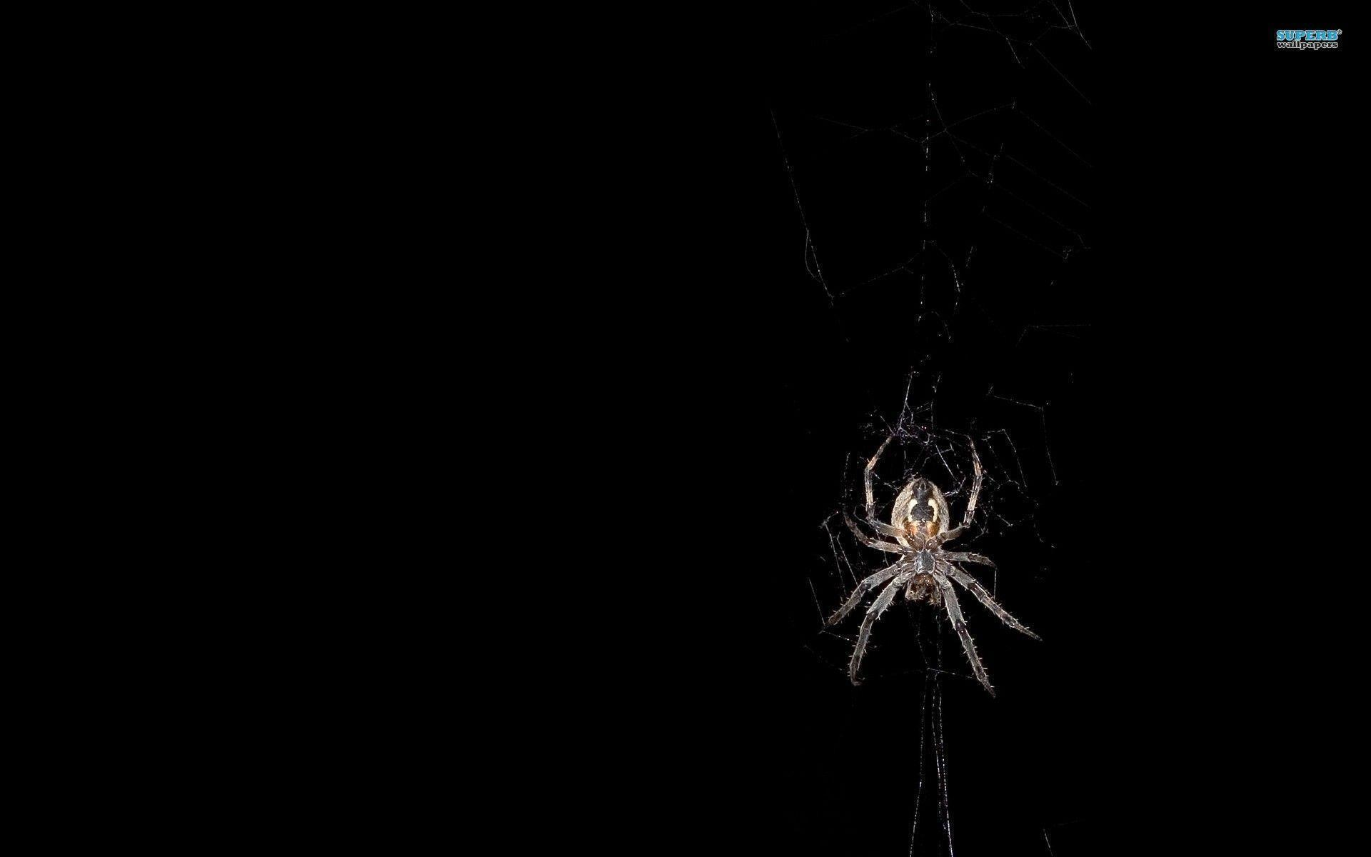 Spider wallpaper - Animal wallpapers - #