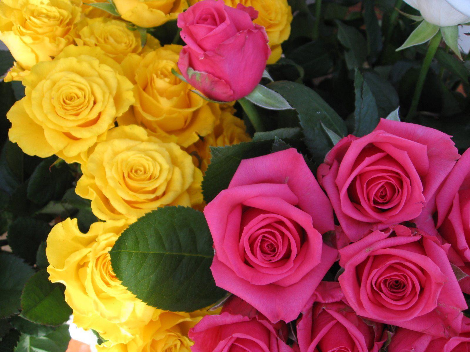 wallpaper of yellow roses - photo #32