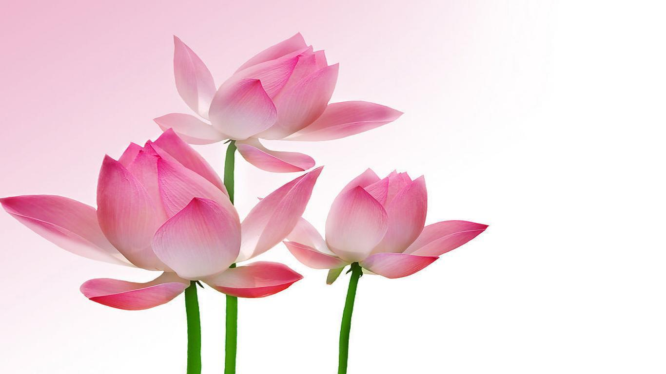 Lotus Wallpapers - Wallpaper Cave