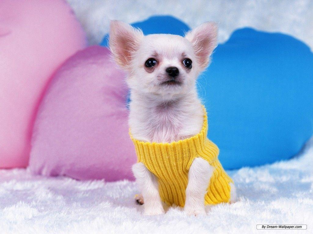 Chihuahua Wallpapers - Wallpaper Cave