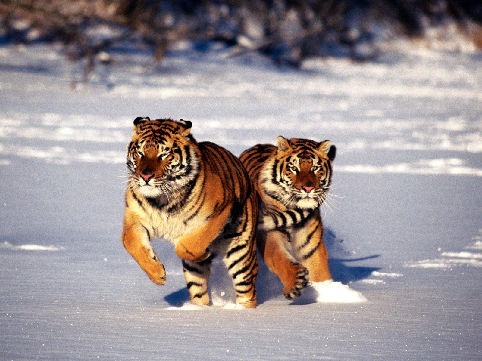 Animals For > Hd Siberian Tiger Wallpapers
