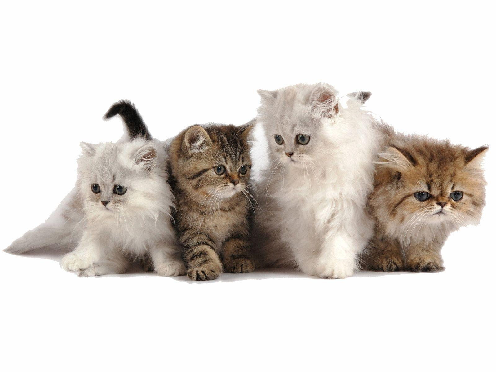 Cute Persian Kitten wallpapers