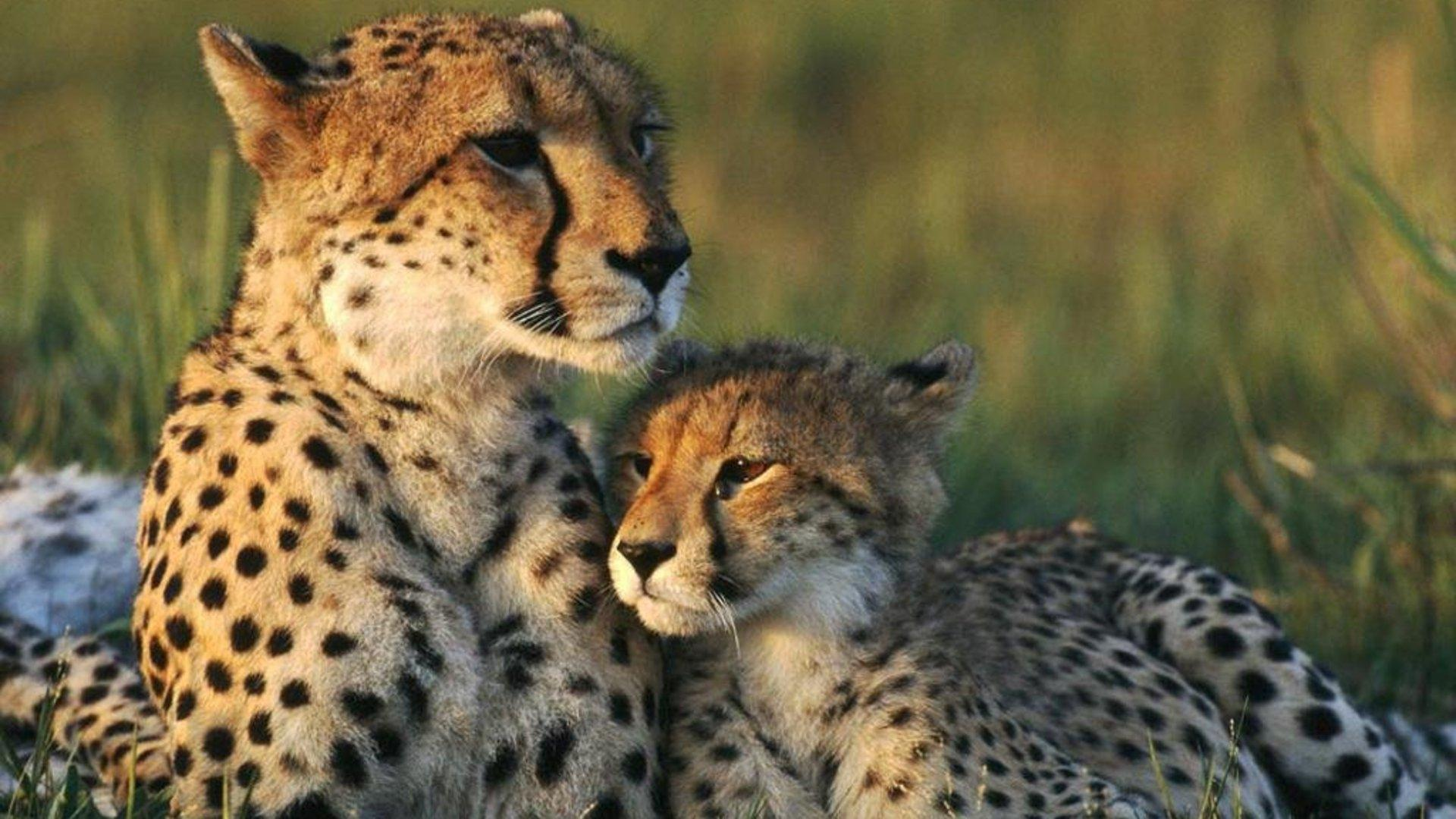 Cute Cheetah Wallpapers Wallpaper Cave