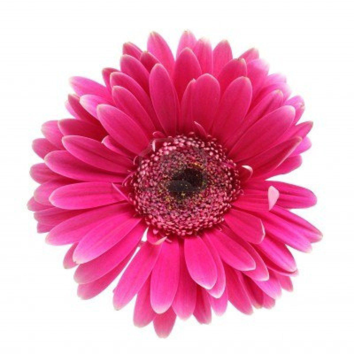 Pink Flowers Wallpaper: Pink Flower White Backgrounds