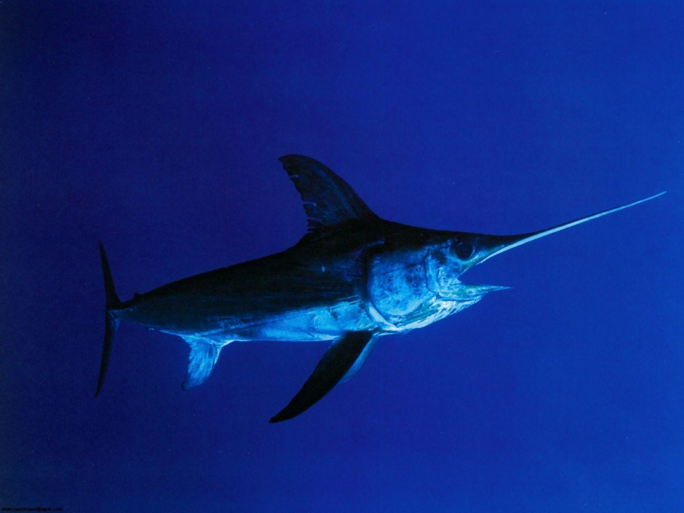 How to Catch Florida Swordfish | Griffin's Guide to Hunting and ...