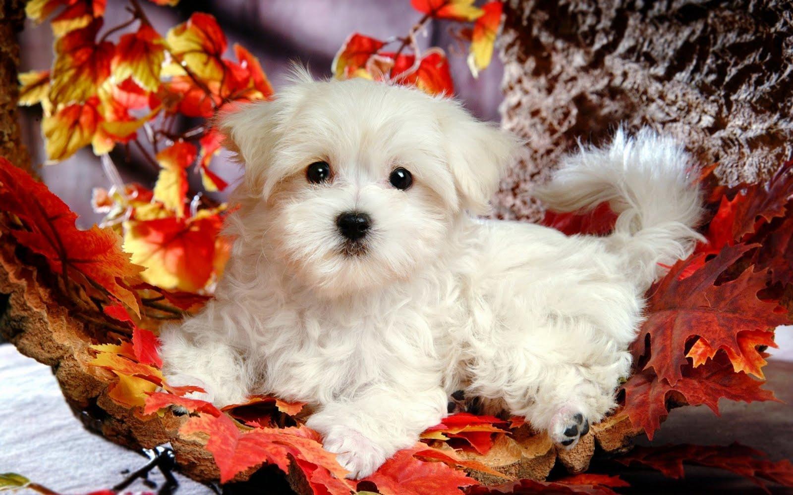Cute Puppies Wallpaper HD Widescreen