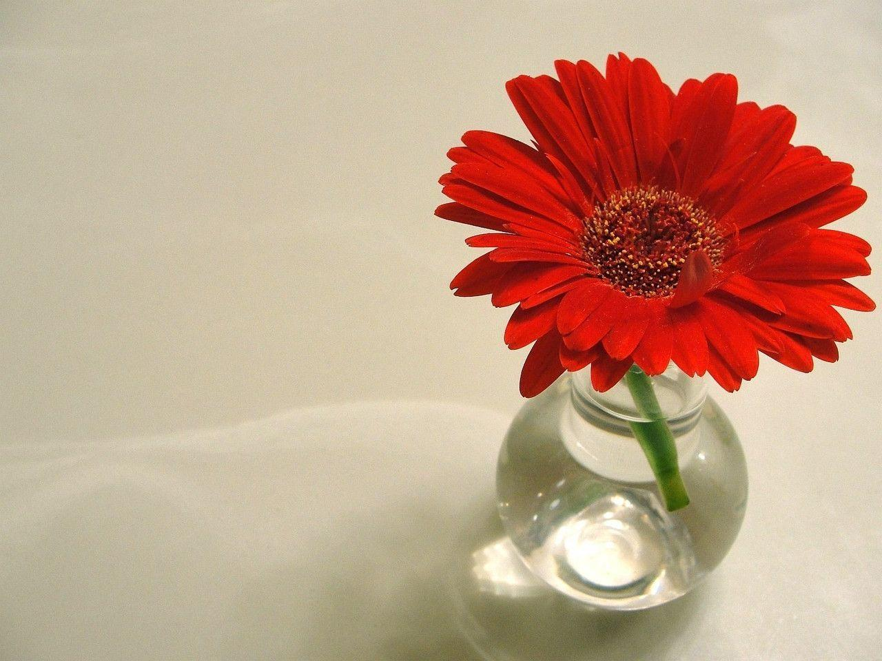 red daisy flower hd - photo #27