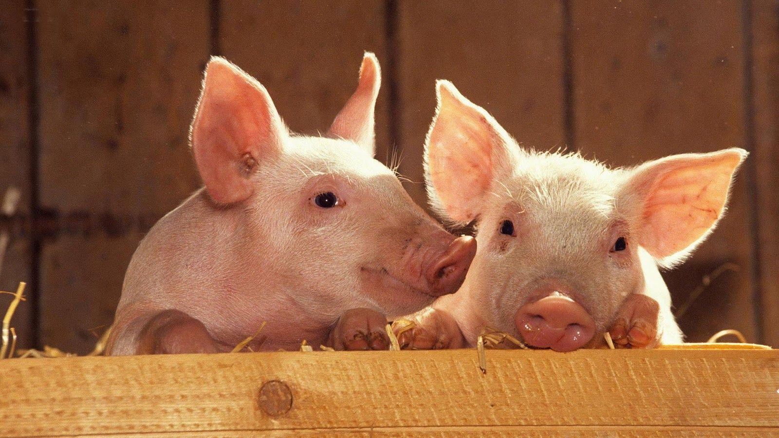 pig cute wallpapers pigs