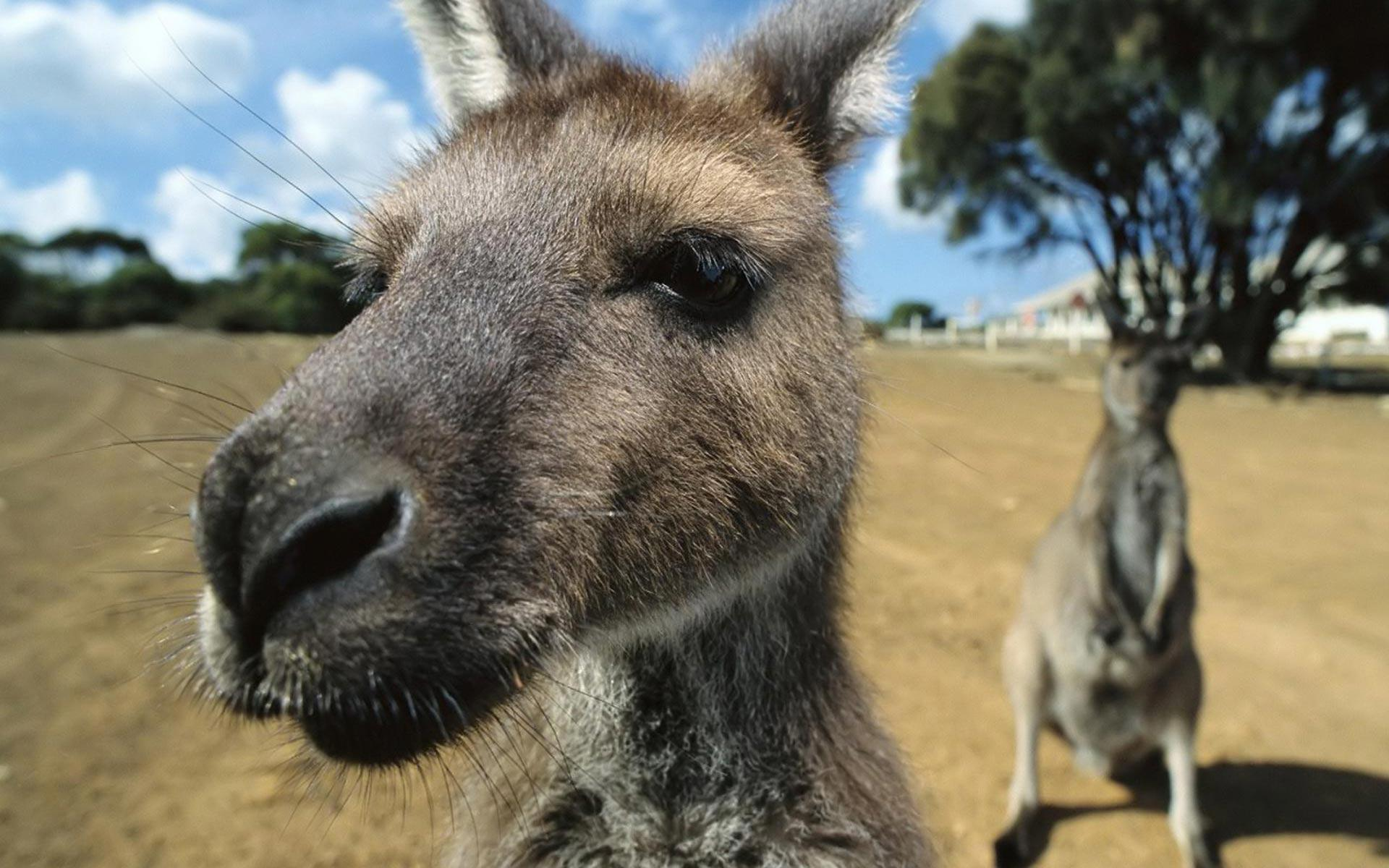 Kangaroo-HD-Wallpaper-11 - Animals Planent.
