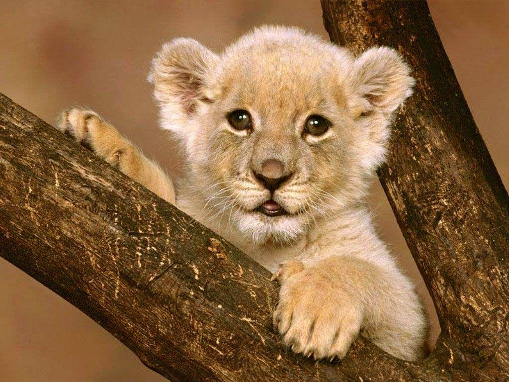 wallpaper: mother lion, baby lion, animal world, Carnivora ...