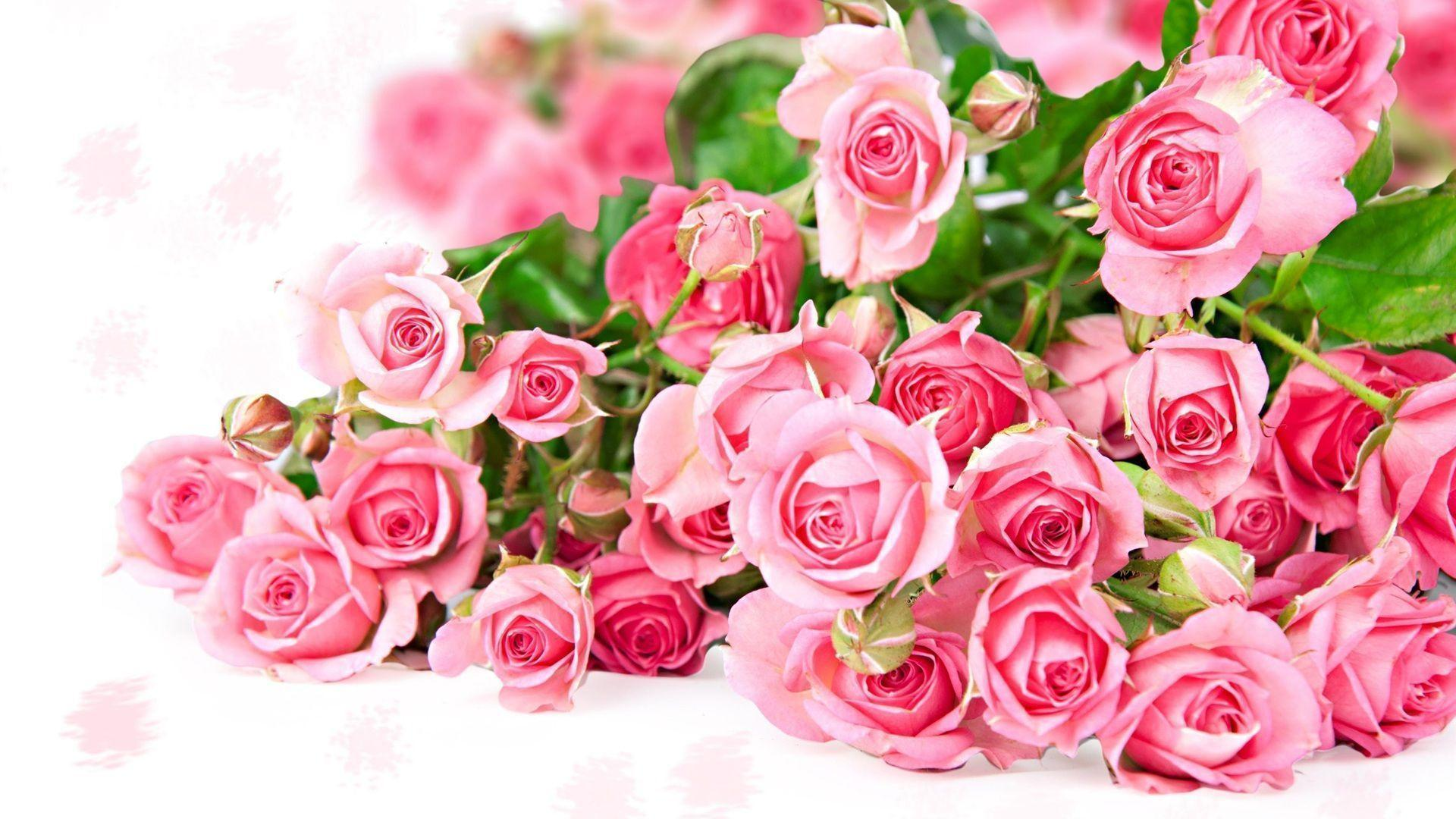 Wallpapers For > Beautiful Pink Rose Flower Wallpapers