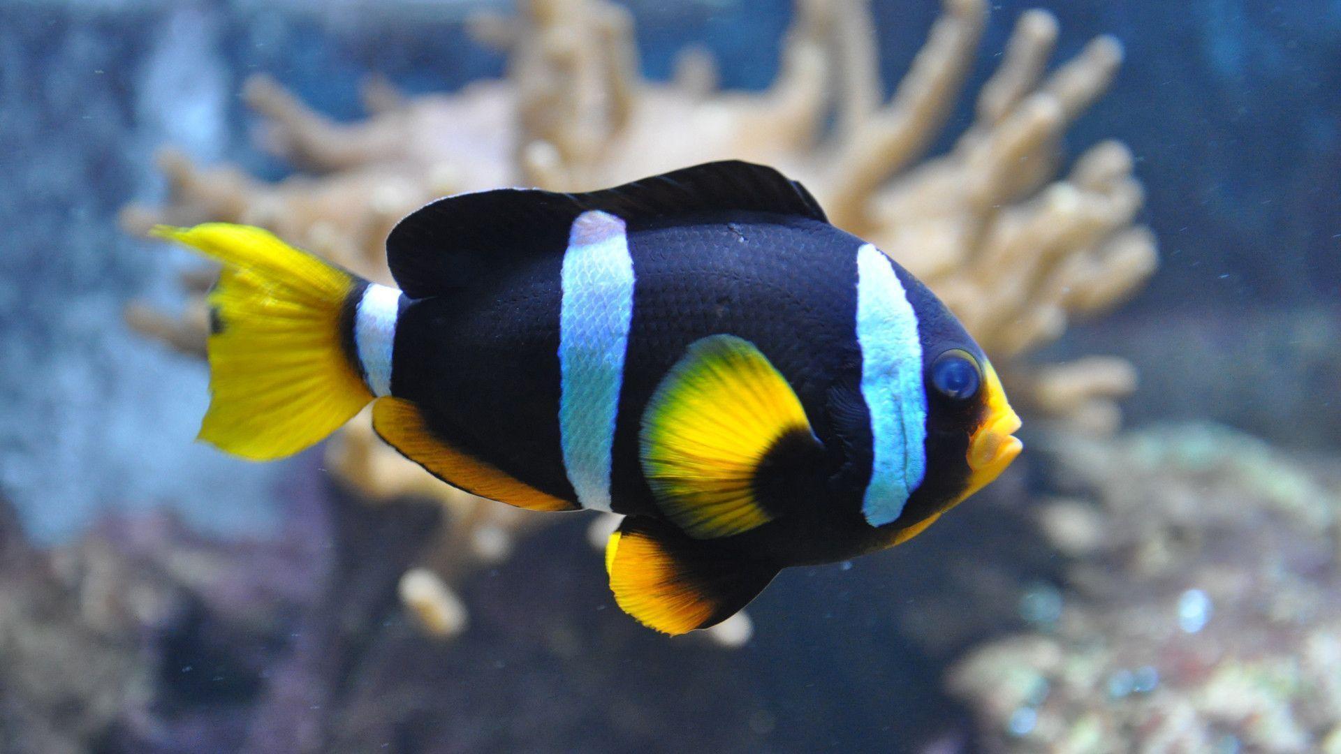 wallpaper clarkii clownfish -#main