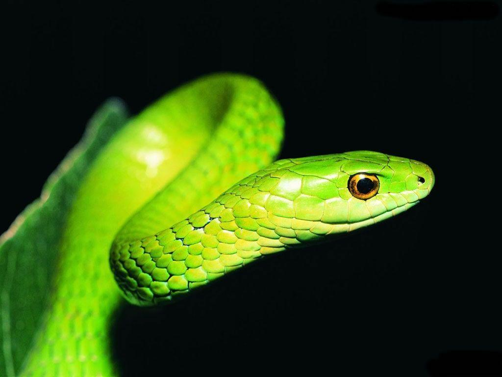 Big Green Anaconda Hd Wallpapers Widescreen Unique Hd Wallpapers for o