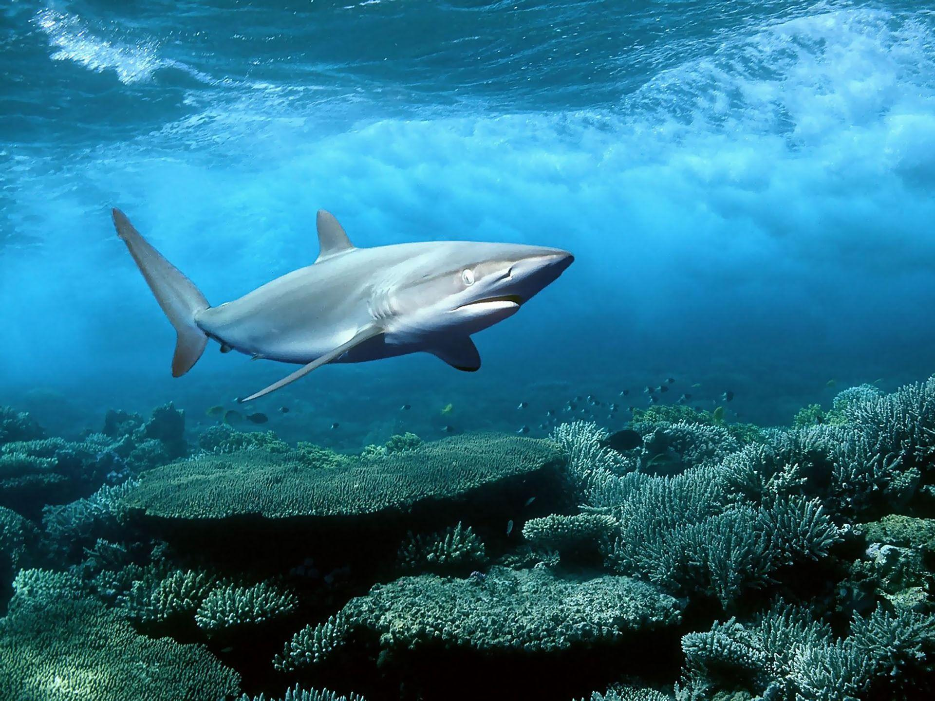 Blue Shark HD Wallpapers