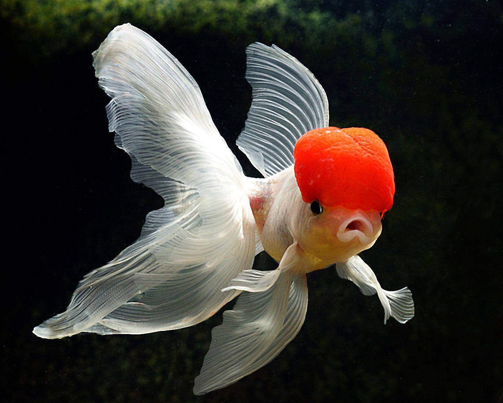 Goldfish HD Wallpaper 3