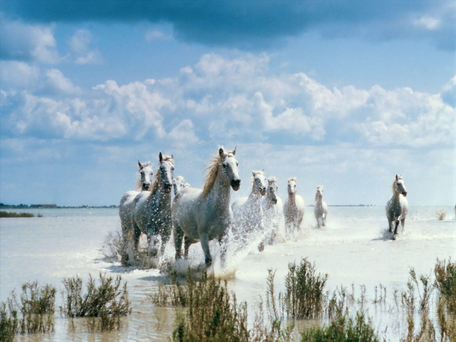 Animals For White Running Horses Wallpaper