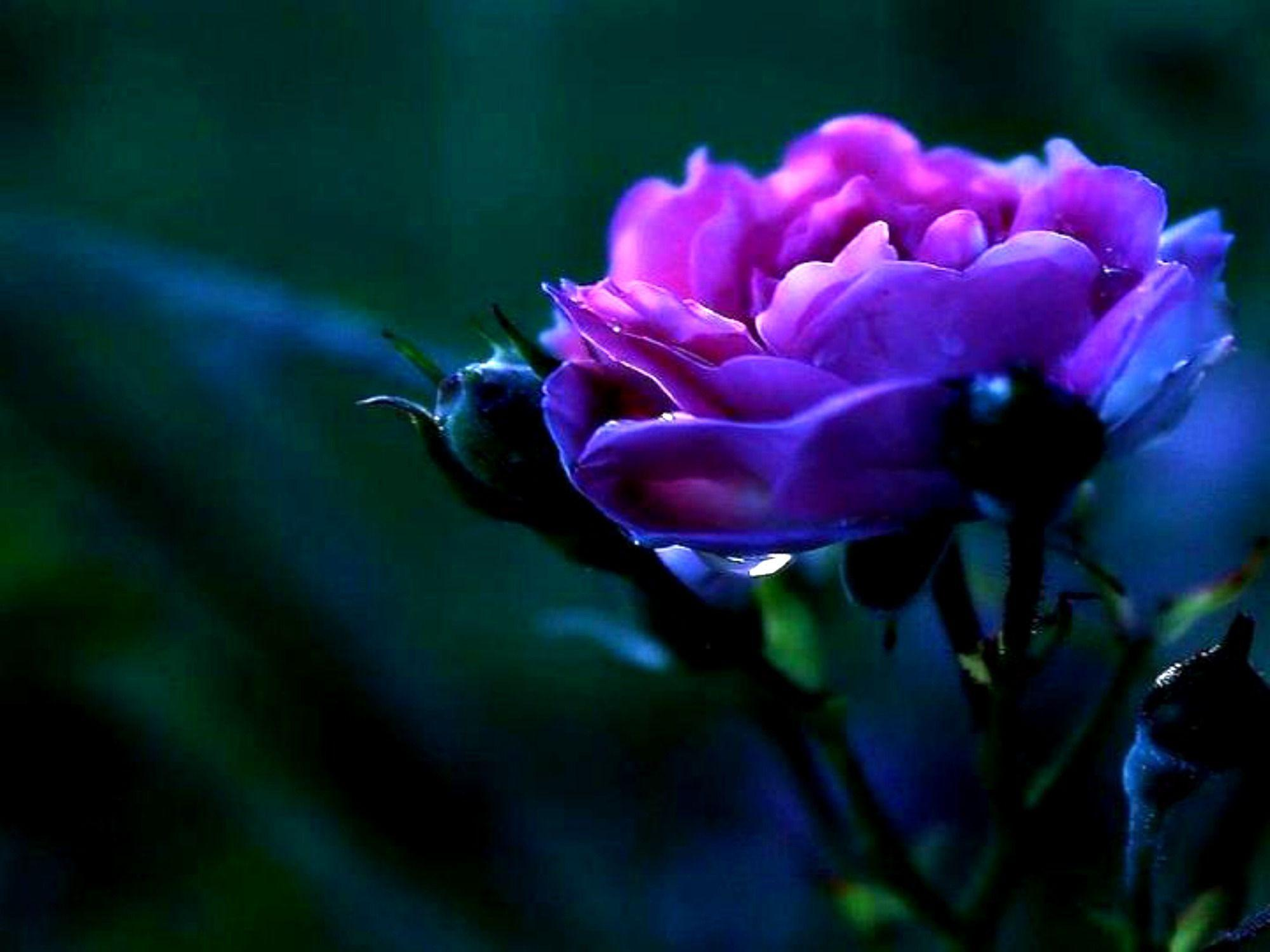 Purple Roses Background Images: Violet Rose Wallpapers