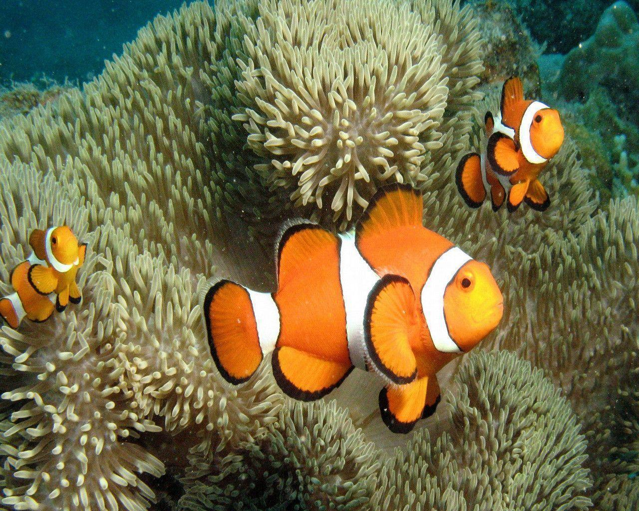 wallpaper clarkii clownfish - photo #26