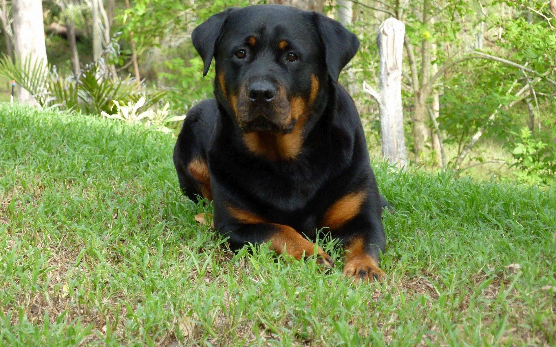Rottweiler Wallpapers - The Dog Wallpaper - Best The Dog Wallpaper