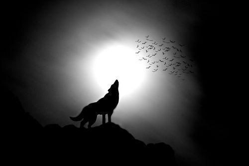 Wolf Silhouette Howling At Moon Image & Pictures